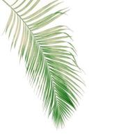 Faded green coconut leaf