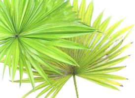 Two palm tree leaves