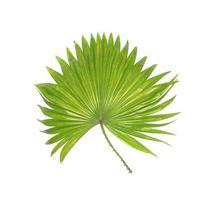 hojas tropicales puntiagudas