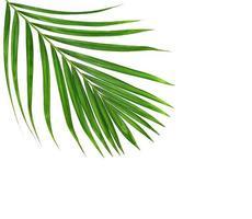 follaje de palmera en blanco
