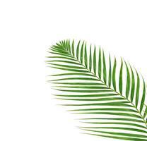 Tropical palm branch photo