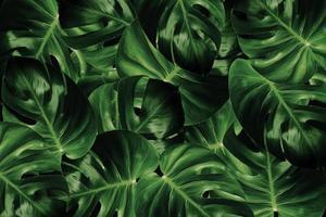 hojas de monstera sobre fondo oscuro foto