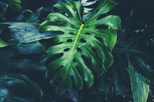 hoja de monstera en la selva foto