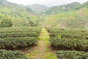 granja de té en tailandia