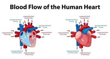 cartel de información del diagrama del corazón humano vector