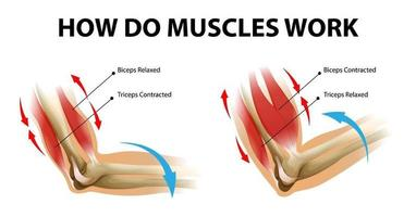 Movement process of the arm muscle Biceps and Triceps vector