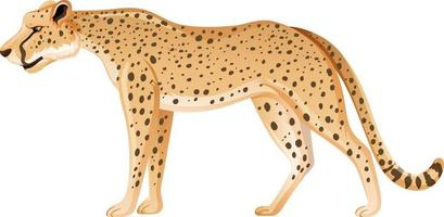 Leopardo adulto en posición de pie sobre fondo blanco. vector