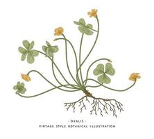 Wood Sorrel or Oxalis acetosella Hand Drawn Botanical Illustrations. vector