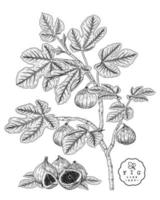 Ilustración botánica dibujada a mano de fruta de higo. vector