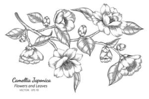 Camellia Japonica flower and leaf drawing illustration with line art on white backgrounds vector