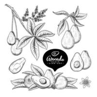 fruta de aguacate elemento dibujado a mano ilustraciones botánicas vector