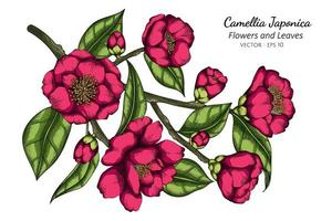 Pink Camellia Japonica flower and leaf drawing illustration with line art on white background vector