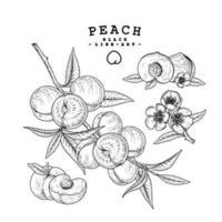 dibujos de frutas de durazno. vector