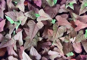 Purple ivy leaves