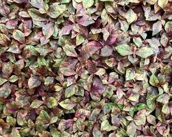 hojas verdes y moradas