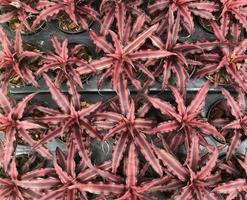 vista superior de hojas de hierba roja