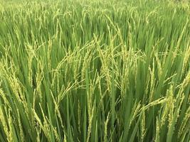 campo de arroz jazmín
