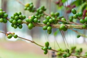 Fresh seeds on the coffee tree photo