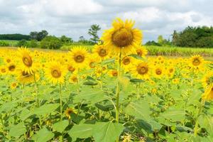 Sunflower filed in Thailand photo