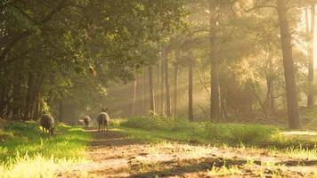 Sheep Standing in A Forest on An Early Morning