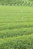 Tea farm in Thailand