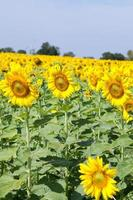 Sunflowers on a field