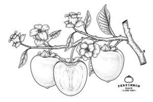conjunto de elementos dibujados a mano de fruta de caqui hachiya ilustración botánica vector
