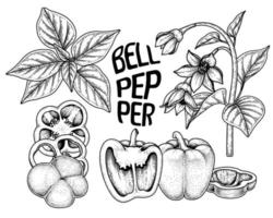 Set of bell pepper hand drawn elements botanical illustration