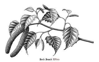 Birch Branch botanical hand drawing vintage style black and white art isolated on white background vector