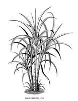 Sugar cane tree botanical illustration vintage engraving style black and white art isolated on white background vector