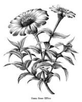 Zinnia flower botanical vintage illustration black and white art isolated on white background vector