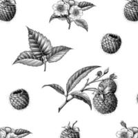 Patrón botánico de fruta de frambuesa dibujar a mano estilo vintage aislado sobre fondo blanco. vector