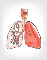 Illustration of lungs that are detailed vector