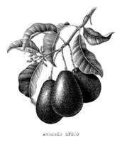 Avocado branch botanical illustration vintage engraving style black and white  art isolated on white background vector
