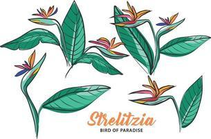 Strelitzia Flower Bird of Paradise Hand Drawing vector