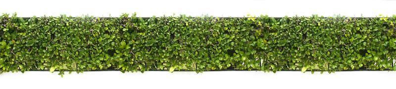 Green hedge isolated on white photo