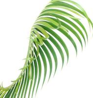 Tropical leaf isolated on white photo