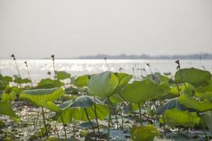 hojas de loto y flores de loto