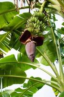 plátano con flor de plátano