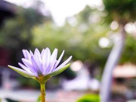 flores de loto púrpura foto