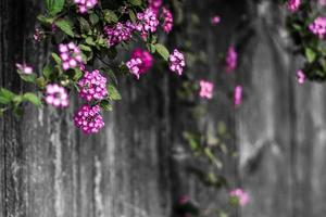 Beautiful pink flowers on a fence photo