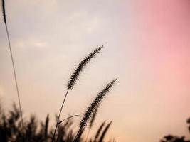 Wild grasses with pink background photo