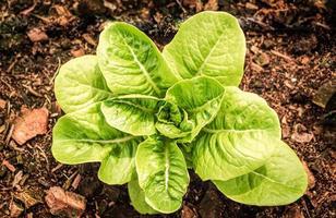 pequeña planta de lechuga en el jardín foto