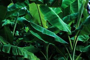 hojas de banano tropical foto
