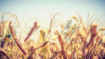 Dried corn field