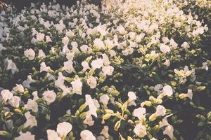 hermosos arbustos de flores blancas foto