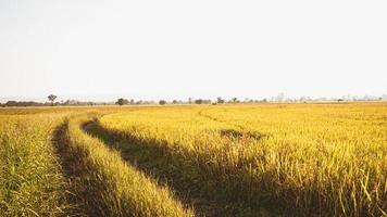 campo de arroz dorado