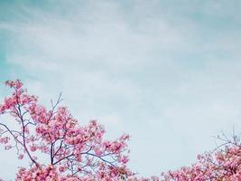 Pink tabebuia flower blossom against blue sky photo