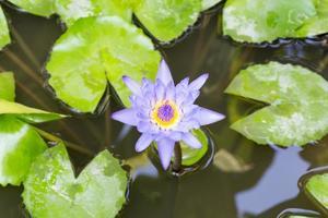 Lotus in full bloom in a pond