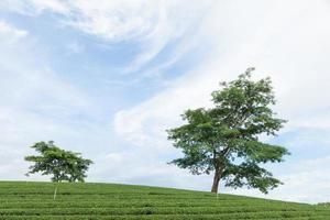 árbol en una granja de té foto